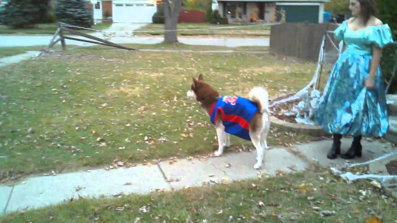 siberian husky halloween costume youtube