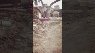 Village animal sex