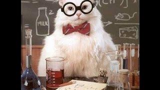 Смешные кошки, абиссинская кошка на видео - красуются, тащятся от телика, девушек, рыбок