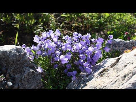 Садовые колокольчики – сказка в вашем саду!