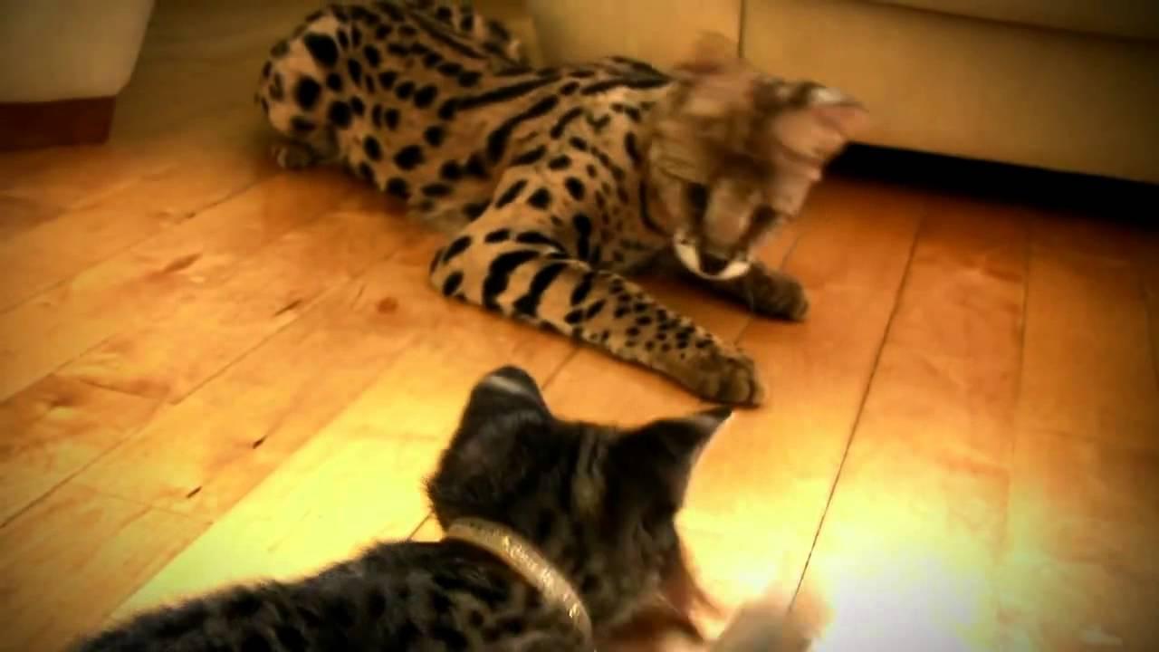 Все питомники в каталоге собраны по породам кошек, легко и удобно найти питомник, где можно купить породистого котенка, или узнать какова цена котят в. Питомники кошек породы саванна, купить котенка, котята, кота, кошку, саванна кошка, порода, питомник саванна кошек, купить саванна, продажа.