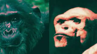 Tüm Dünya'dan Gizlenen İnsan-Şempanze Melezi