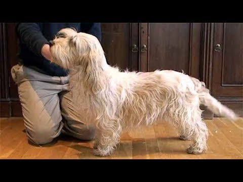 Dog Breed Video: Petit Basset Griffon Vendeen