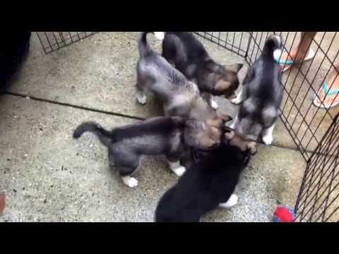 Rottweiler puppy vs Husky puppies