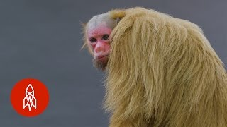 Red-Faced, Hairless and Handsome: Meet the Bald Uakari Monkey