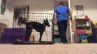 Alexander (Xander) the Toy Manchester Terrier learning that crates aren't horrible