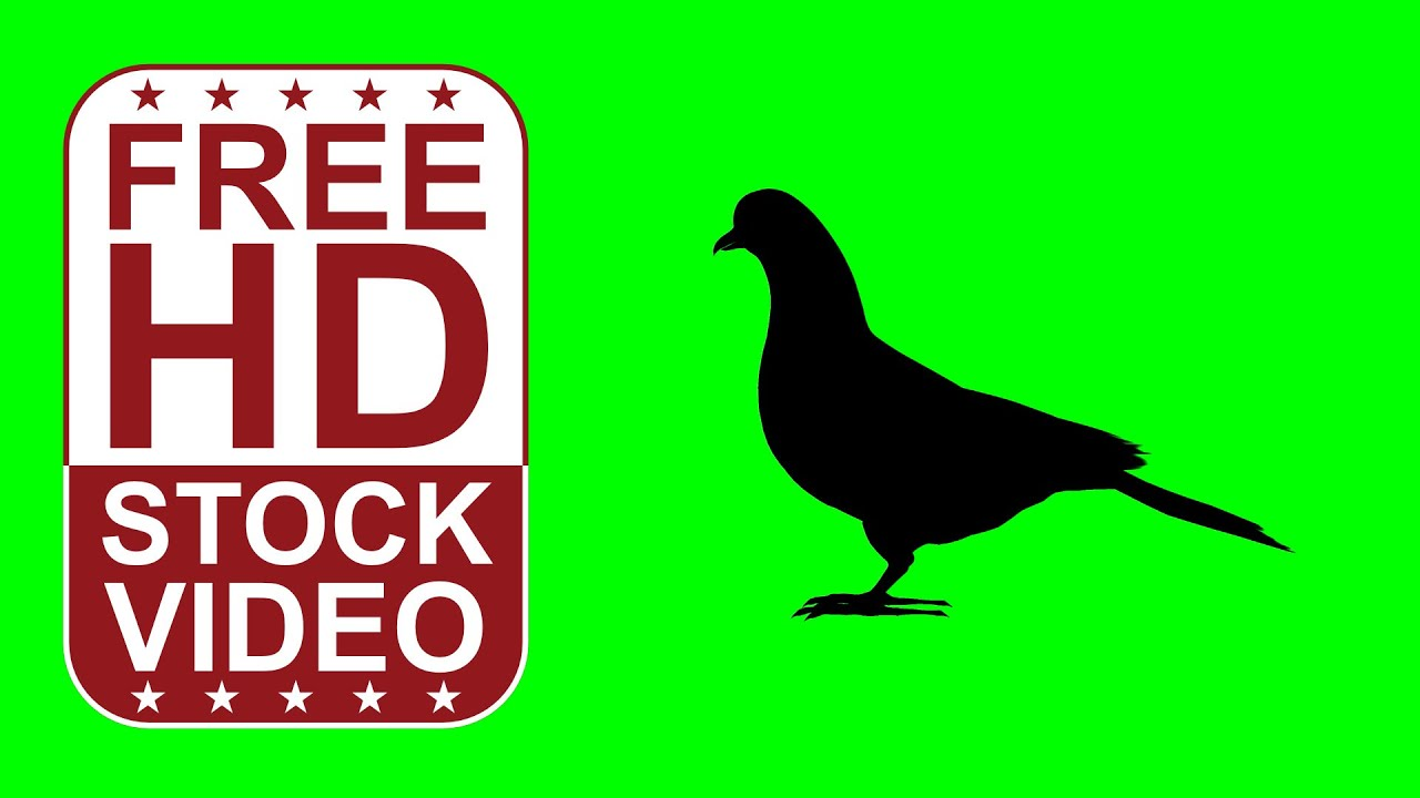Free Stock Videos animal silhouettes pigeon idle on green screen