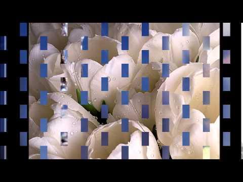 Королёв-белые тюльпаны