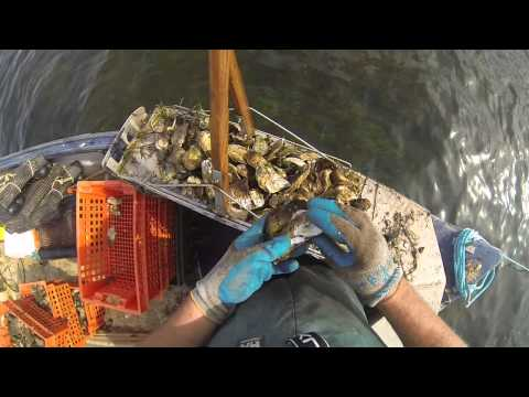 FISHING MALPEQUE OYSTERS PEI!!