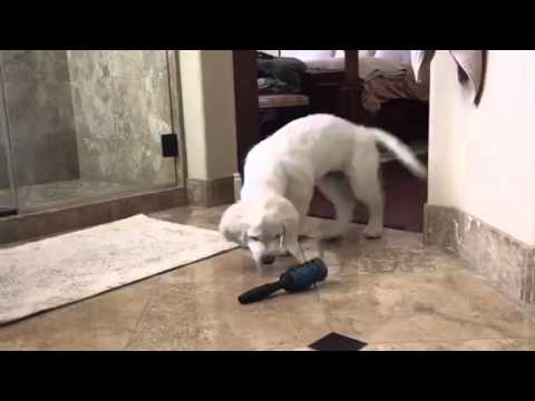 Golden Retriever Confused with Brush