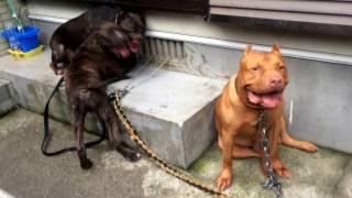 父 レッドノーズ 9歳 母 ブルーブリンドル 3歳 子犬 ブルーブリンドル 4...