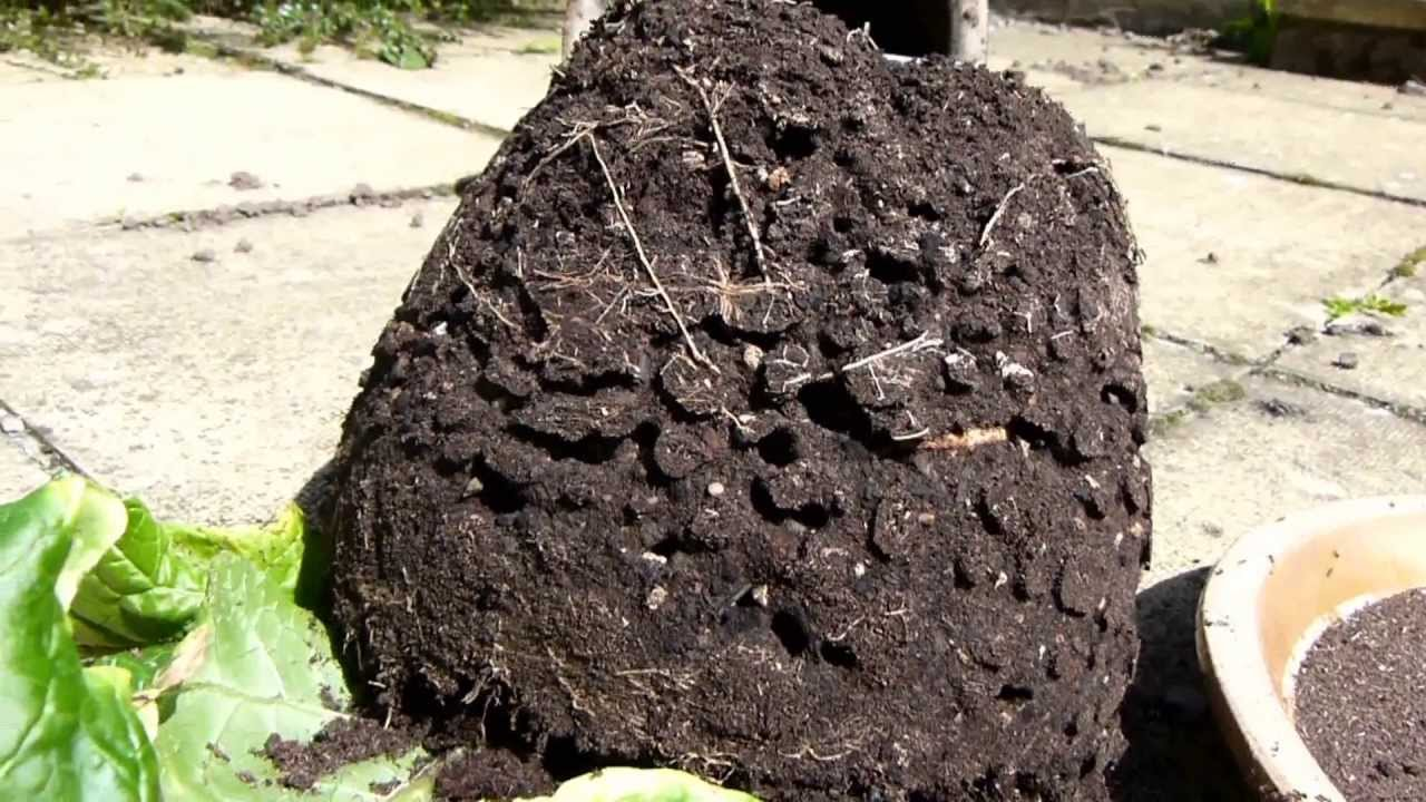ants nest in mandrake plant pot - youtube