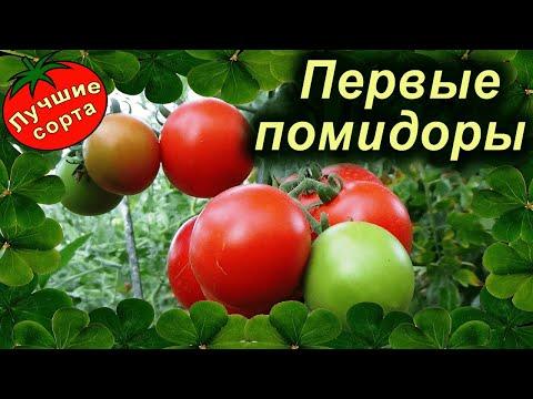 Какие помидоры созрели первыми (РАННИЕ СОРТА ТОМАТОВ)