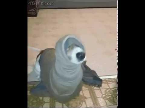 Land seal dog costume - YouTube