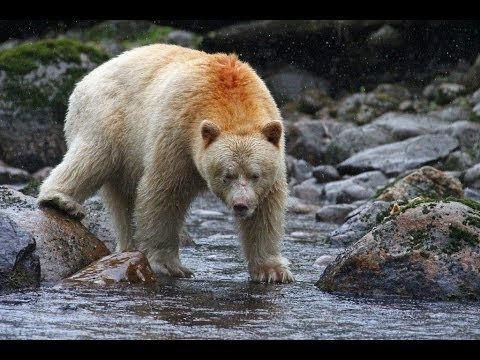 Grizzly bear salmon fishing deep into the wild bbc doovi for Bear catching fish
