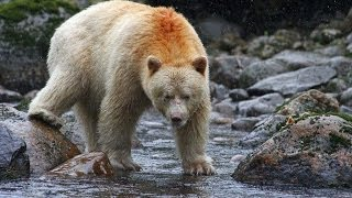 Spirit bear / Kermode bear catching and eating salmon