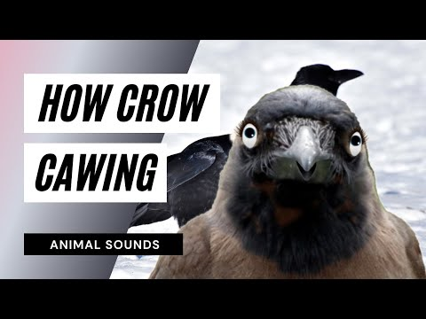 The Animal Sounds: Crow Cawing -  Sound Effect - Animation