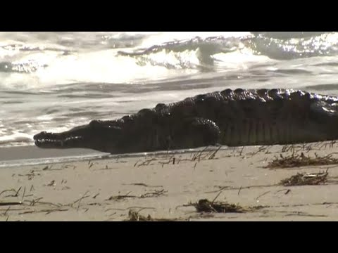 Crocodile Gets Florida Beach All to Itself