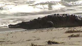 Crocodile Gets Florida Beach All to Itself thumbnail