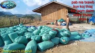Coj nej mu saib hmong thauj pob kws thiab ntau pob kws nyob toj siab 21.10.2019