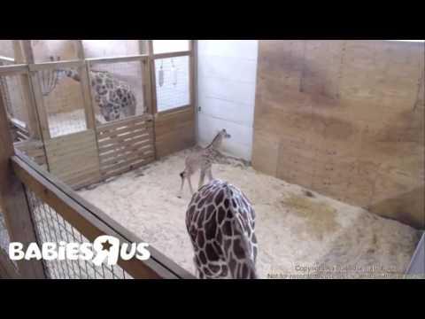 Brand New Giraffe Family ♥