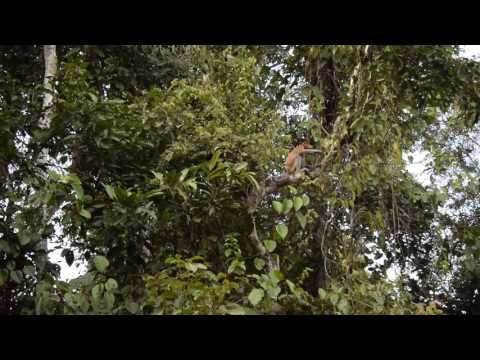 Proboscis Monkey - Kinabatangan River Sabah, Borneo, Malaysia