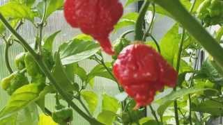 CAROLINA REAPER CHILLI PLANT GROWING UPDATE (UK GROWN)