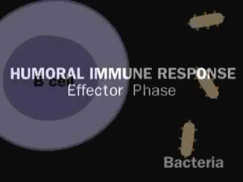 Humoral immunity ( antibody-mediated system) - Simply defined in 30 seconds