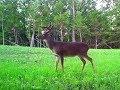 Chasing Bucks   Strategies, Food Plots, Trail Cameras (#460) @GrowingDeer.tv