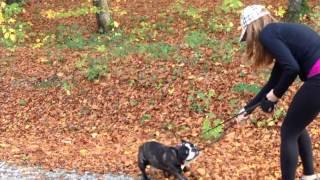 Bucks The French Bulldog Having Fun In The Woods