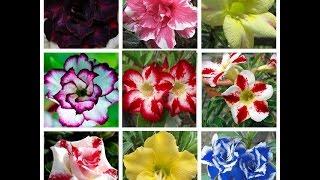 Посылка с семенами.Роза пустыни.Новые цветы в доме АДЕНИУМ