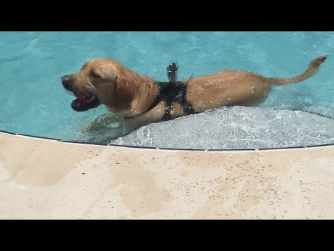 Dog does not want to leave the pool