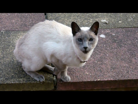 Funny Cat Video Talking Siamese...How To Train Your Cat..GUARANTEED!