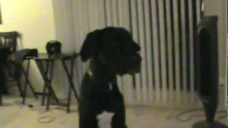 "Great Dane Howling at Youtube video: ""Guaranteed To Make Your Dog Howl"""