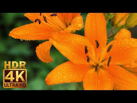Real HDR 4K (Ultra HD) Beautiful Flowers with Nature Sounds - Orange Lily & Water