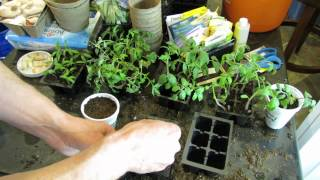MFG 2015: Seed Starting, Watering, Feeding and Cup Transplanting Tomatoes: All The Steps!(A quick but informative guide to starting tomatoes indoors. How to set up the starting mix, pack the cells, water them, feed them, thin them and transplant them ..., 2015-02-27T01:48:54.000Z)