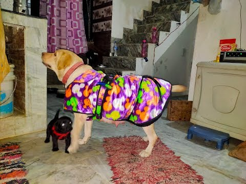 Perry wearing new jacket .... Labrador