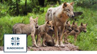 Wölfe – bedroht oder bedrohlich? | Artenvielfalt auf Truppenübungsplätzen | Bundeswehr