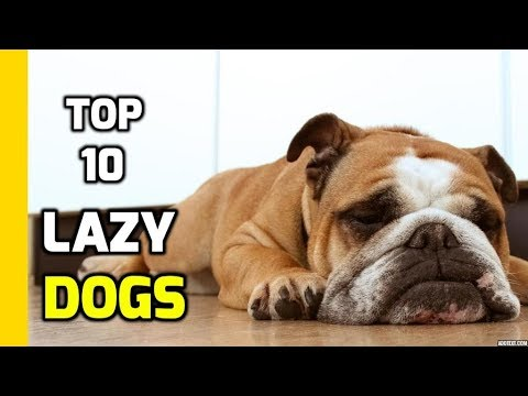 Top 10 Lazy Dogs Breeds