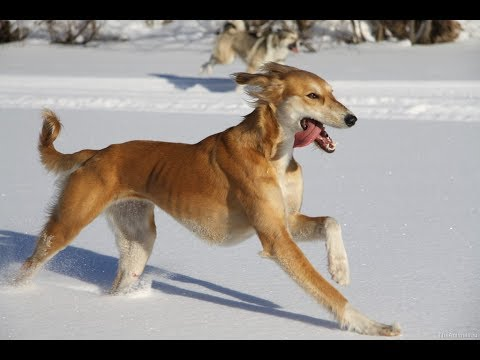 Тазы Порода собак