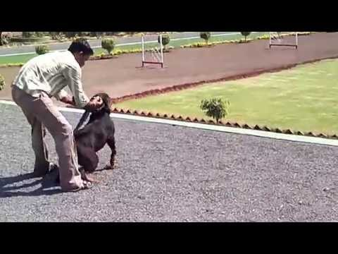 Rottweiler Attack and Gaurd Training - Tyson