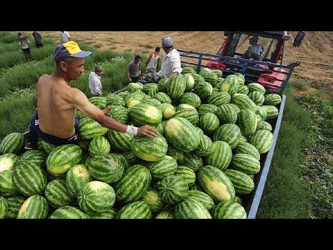 Богатейший урожай бахчевых в Таджикистане. Цены ниже, чем обычно