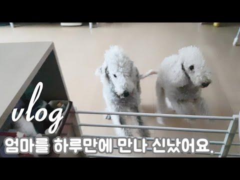 강아지 일상/털 안빠지는 베들링턴테리어 강아지 그리고 하루만에 만난 강아지 반응?