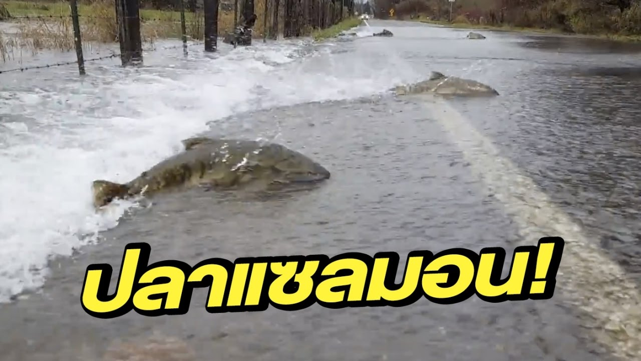 มุ่งมั่น ปลาแซลมอนพยายามว่ายน้ำข้ามถนนกลับไปวางไข่ | 06-12-59 | เช้าข่าวชัดโซเชียล