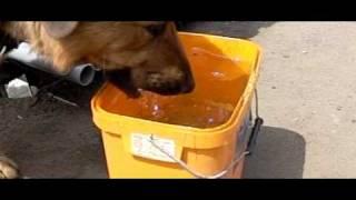 Как собака пьет воду в замедленной съемке