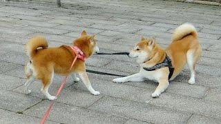 お顔を見られすぎる柴犬ひかり Shiba Inu thumbnail