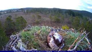 Who attracted EJ's attention? ~ ©RSPB Loch Garten & Carnyx Wild thumbnail