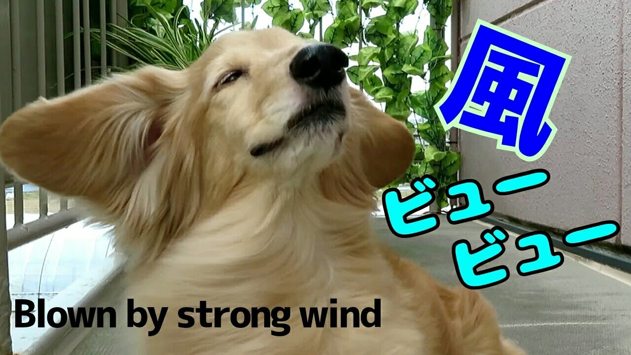 《ミニチュアダックス》マー坊ちゃん💚強風に吹かれて…◾Maaboh💚Blown by strong wind◾