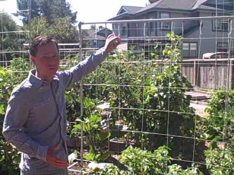 Growing Pumpkins Vertically Up A Nylon String Trellis At