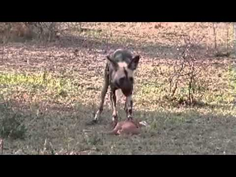 African Painted Dogs Hunt & Dine November 10, 2014